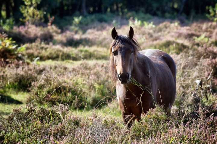 new forest wild pony chewing grass