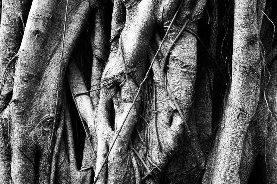 banyan tree closeup