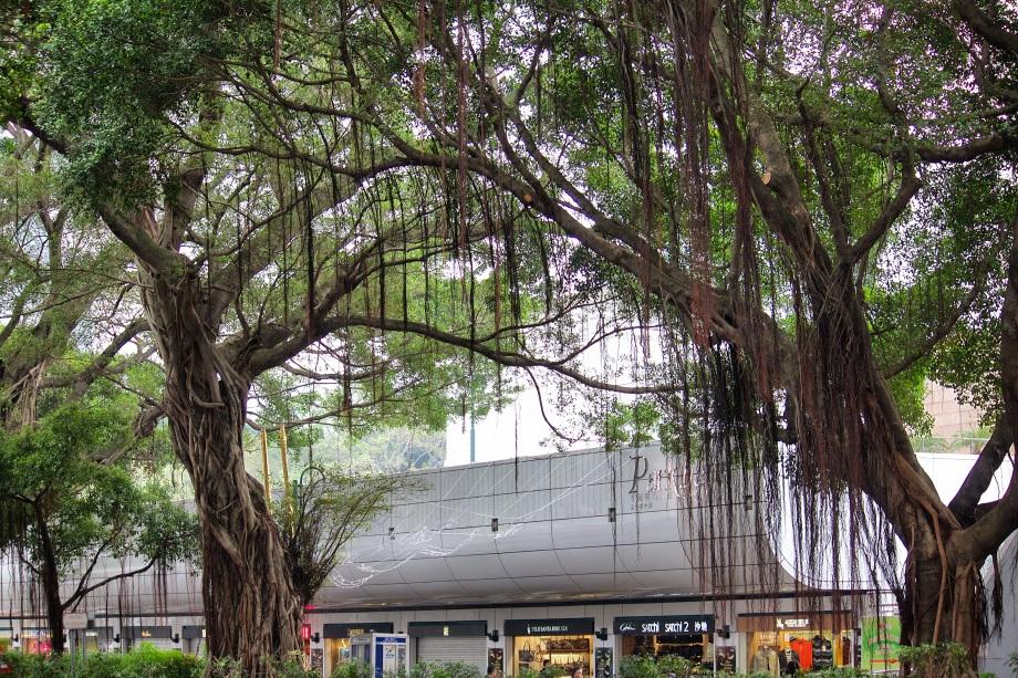 nathan road banyan tree wide