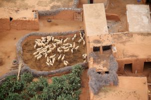 berber village sheep