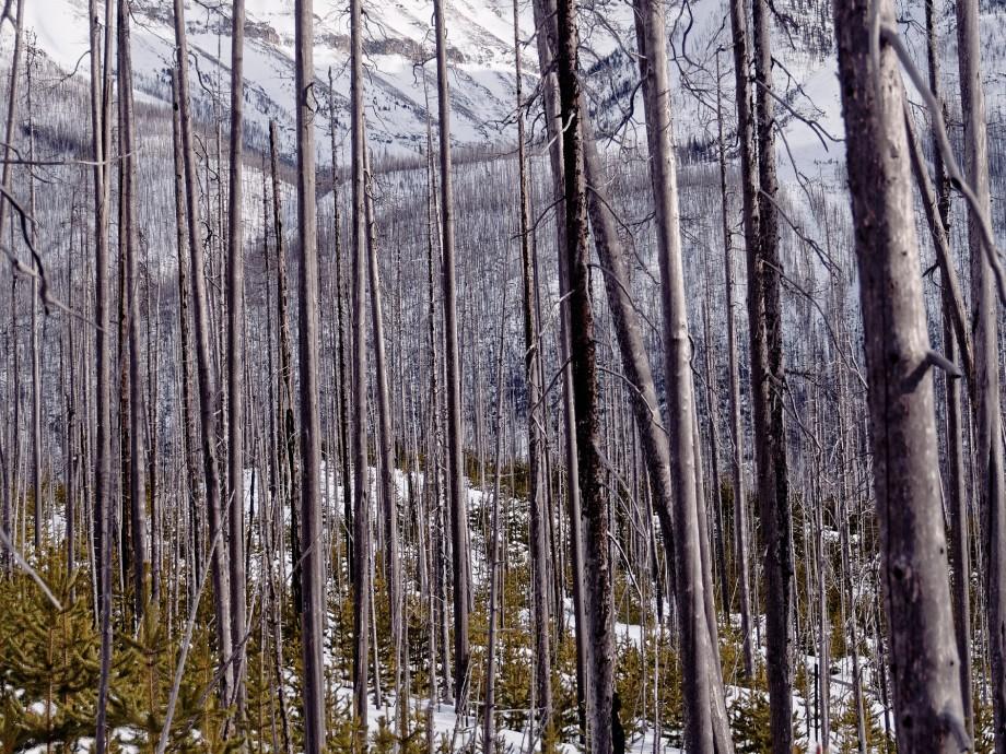 banff reforest