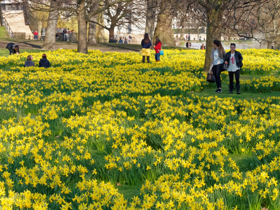 daffodil carpet
