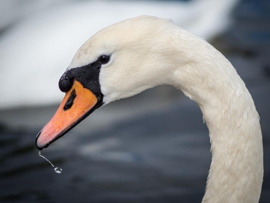 swan drop