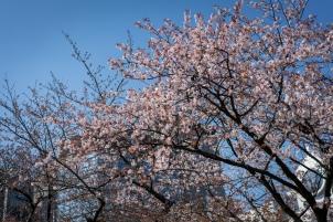 tokyo cherry blossom -1