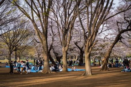 tokyo cherry blossom -10