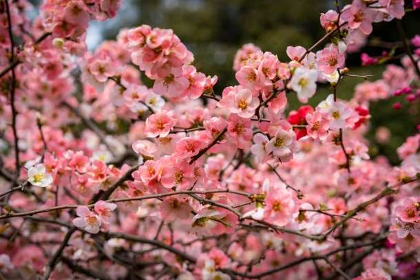 tokyo cherry blossom -11
