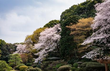 tokyo cherry blossom -12