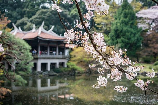 tokyo cherry blossom -13