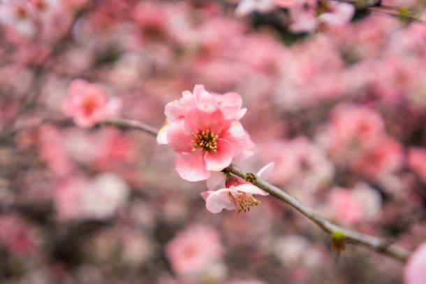 tokyo cherry blossom -14