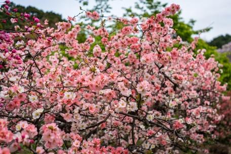 tokyo cherry blossom -15