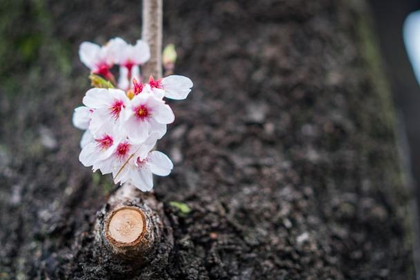 tokyo cherry blossom -16