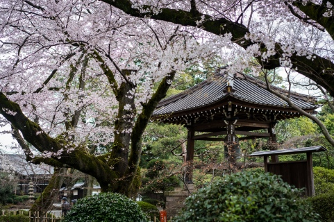 tokyo cherry blossom -17