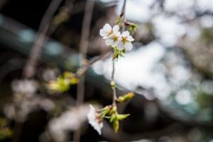 tokyo cherry blossom -18