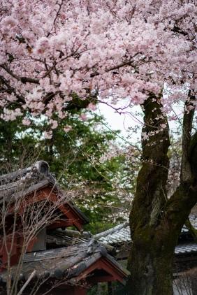 tokyo cherry blossom -19