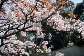 tokyo cherry blossom -2