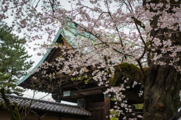 tokyo cherry blossom -20