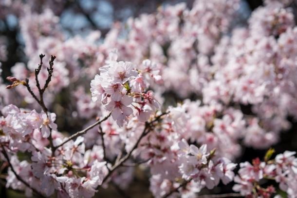 tokyo cherry blossom -3