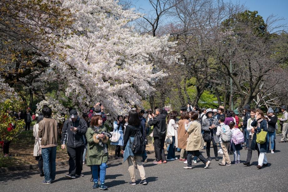 tokyo cherry blossom -4