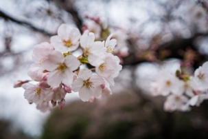 tokyo cherry blossom -6