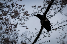 tokyo cherry blossom -8