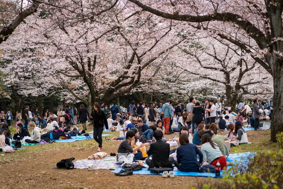 tokyo cherry blossom -9